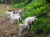 goats-chomping-on-kudzu.jpg