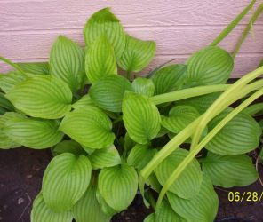 free-hosta-plants-columbia-md.jpg